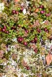 Mirtilli rossi di cespuglio Fotografia Stock Libera da Diritti