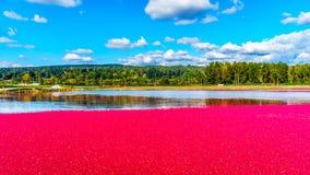 Mirtilli rossi maturi che galleggiano nella laguna durante il raccolto Fotografie Stock Libere da Diritti