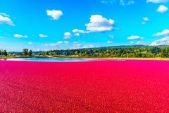 Mirtilli rossi maturi che galleggiano nella laguna durante il raccolto Immagini Stock