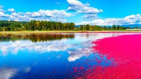 Mirtilli rossi maturi che galleggiano nella laguna durante il raccolto Fotografia Stock