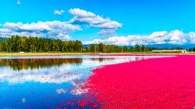 Mirtilli rossi maturi che galleggiano nella laguna durante il raccolto Immagine Stock Libera da Diritti