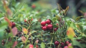 Mirtilli rossi nella foresta Fotografia Stock