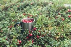 Mirtilli rossi rossi in tazza del metallo in foresta Fotografia Stock