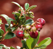 Mirtilli rossi su un arbusto. Immagine Stock