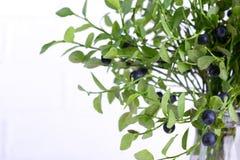 Mirtilli selvaggi freschi della foresta sui rami verdi con le foglie verdi su fondo bianco Fotografia Stock