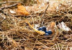 Mirtilli sugli aghi asciutti del pino Immagine Stock