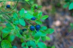 Mirtillo maturo sul cespuglio verde alla foresta immagini stock libere da diritti