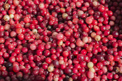 Mirtillo rosso della foresta Fotografia Stock
