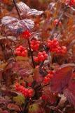 Mirtillo rosso di Highbush - viburno edulis - Major Crop immagini stock libere da diritti