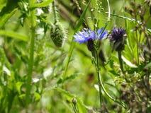 Mirtillo in un campo delle erbe verdi alte Immagini Stock Libere da Diritti
