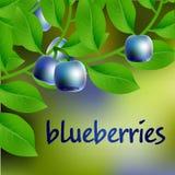 mirtilo Azul-preto, suculento, doce em um ramo para seu projeto Vetor Foto de Stock