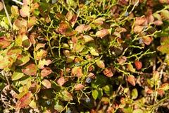 Mirtilo de Bush Imagem de Stock Royalty Free