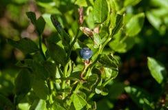 Mirtilo selvagem cercado pelas folhas verdes fotografia de stock