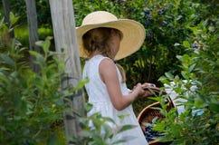 Mirtilos da colheita da menina Fotos de Stock