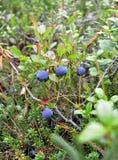 Mirtilos de Bush com as bagas roxas maduras entre arvoredos do pântano dos alecrins selvagens, crowberry do rastejamento e o vido Imagem de Stock