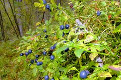 Mirtilos doces maduros de Bush. Fotos de Stock Royalty Free