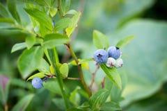 Mirtilos maduros em arbustos, fundo borrado Foto de Stock Royalty Free