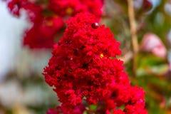 Mirto di crêpe di fioritura Fotografia Stock Libera da Diritti