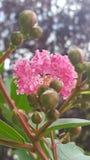 Mirto di crêpe rosa Fotografie Stock Libere da Diritti