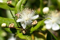 Mirtowi kwiaty Zdjęcia Stock