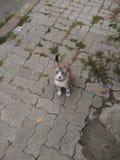 Mis ojos azules del gato dulce Foto de archivo