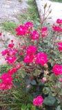 Mis rosas foto de archivo