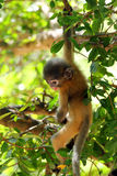 Misbehave monkey. Babychin hang on the greentree in Prachuap khiri khan THAILAND Royalty Free Stock Photography