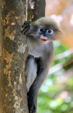 Misbehave monkey. Babychin hang on the greentree in Prachuap khiri khan THAILAND Stock Image