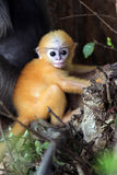 Misbehave monkey. Babychin hang on the greentree in Prachuap khiri khan THAILAND Stock Photo