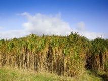 miscanthus травы слона Стоковые Изображения