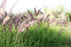 Miscanthus bloeit gebied royalty-vrije stock afbeeldingen