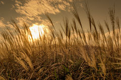 Miscanthus in the dusking sky, Sunset Peak in Hong Kong Royalty Free Stock Image