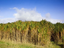 Miscanthus elephant grass Stock Images