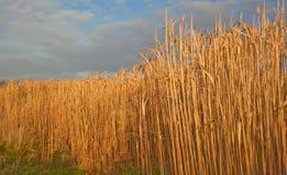 Miscanthus, Elephant Grass  under winter sun. Royalty Free Stock Photo