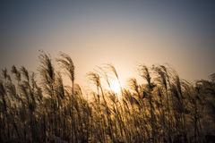 Miscanthus flowers Royalty Free Stock Photography
