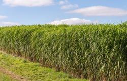 Miscanthus giganteus - biomass crop Royalty Free Stock Image