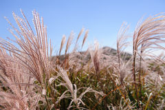 Miscanthus Royalty Free Stock Photos