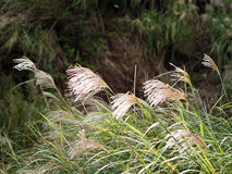 Miscanthus in mountain Stock Image