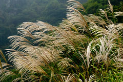 Miscanthus Sinensis Royalty Free Stock Images