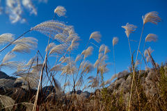 Miscanthus Sinensis Stock Photo