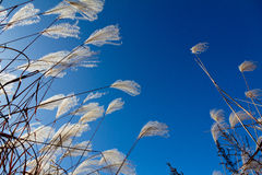 Miscanthus Sinensis Royalty Free Stock Image
