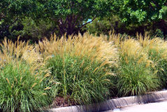 Miscanthus sinensis. Edging a parking lot stock images