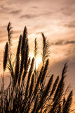 Miscanthus sinensis Stock Images