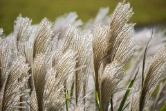 SusukiJapanese Pampas Grass,Miscanthus sinensis blowing in the breeze. Miscanthus sinensis is a species of flowering plant in the grass family Poaceae,native to royalty free stock image