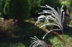 Miscanthus växtslut upp i en höstträdgård Royaltyfria Foton