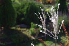 Miscanthus växtslut upp i en höstträdgård Royaltyfri Bild