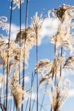Miscanthusbloemen op een zonnige de winterochtend royalty-vrije stock afbeeldingen