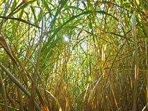 miscanthusswitchgrass Royaltyfri Bild
