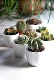Miscela dei cactus e di altre piante nei vasi bianchi Fotografie Stock