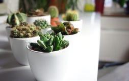 Miscela dei cactus e di altre piante nei vasi bianchi Fotografia Stock Libera da Diritti